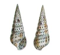 <i>Pyramidella</i> genus of molluscs