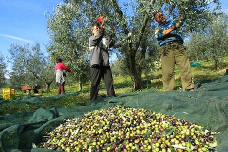 File:Raccolta olive a Montopoli (2).jpg - Wikimedia Commons