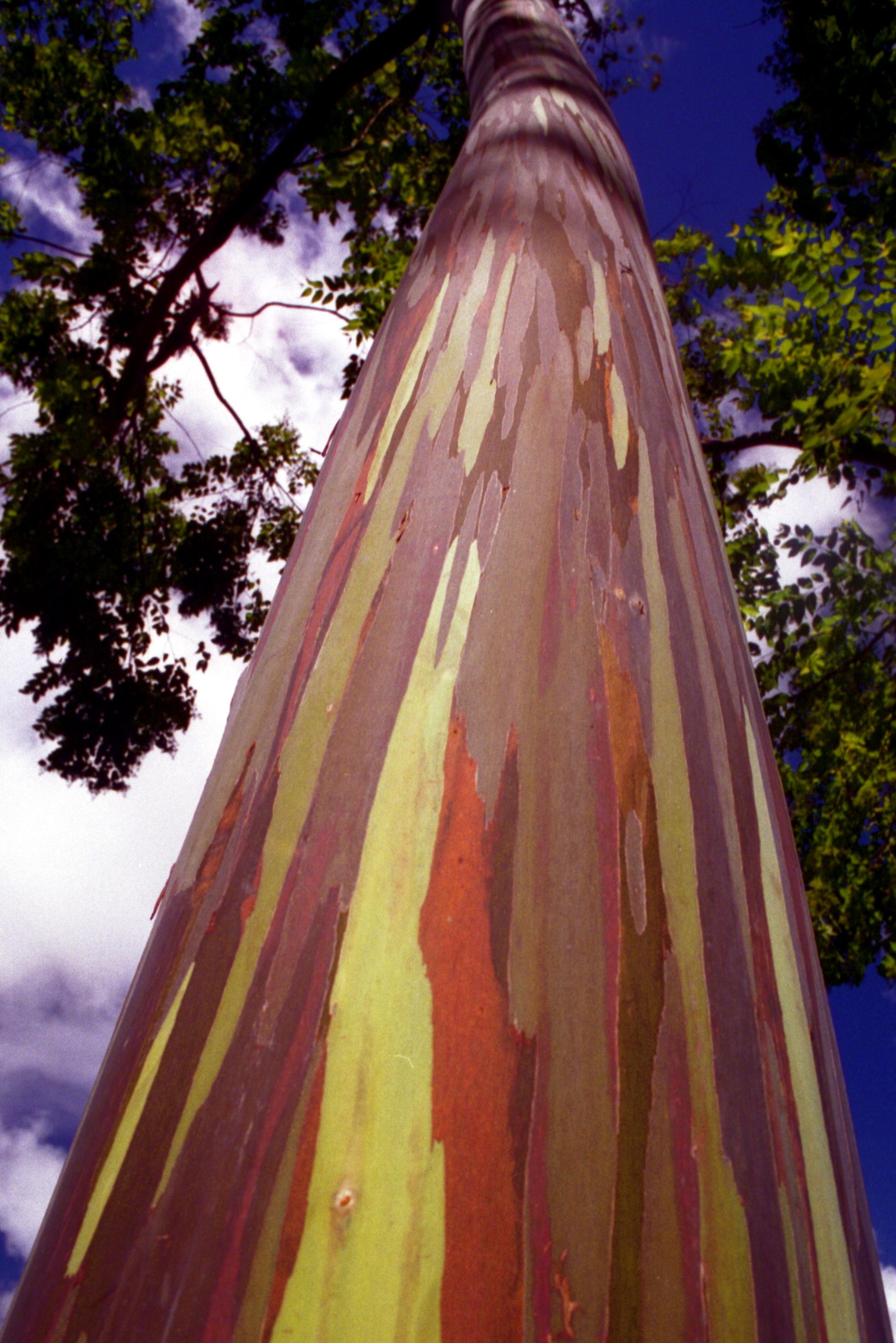 Rainbow_Eucalyptus.jpg