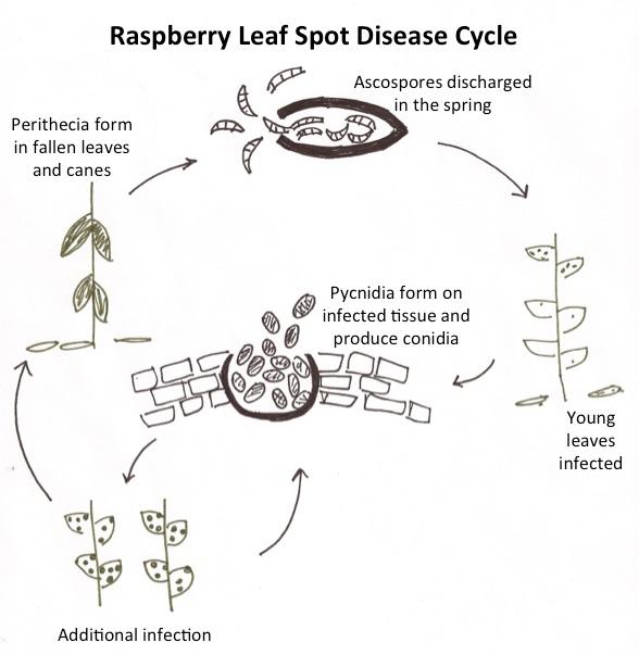 Raspberry leaf spot wikiwand thecheapjerseys Choice Image