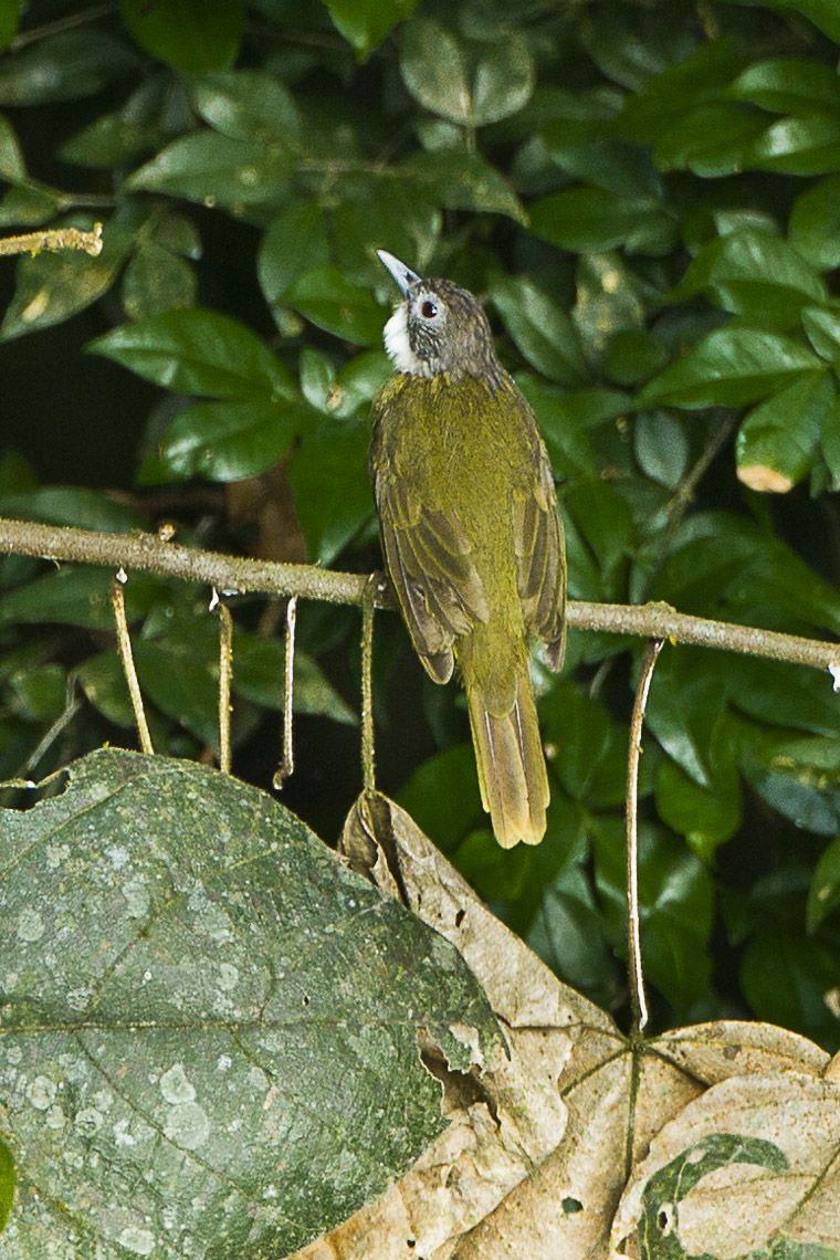 File red tailed greenbul ghana s4e1441 16865811439 jpg for Silverleaf com