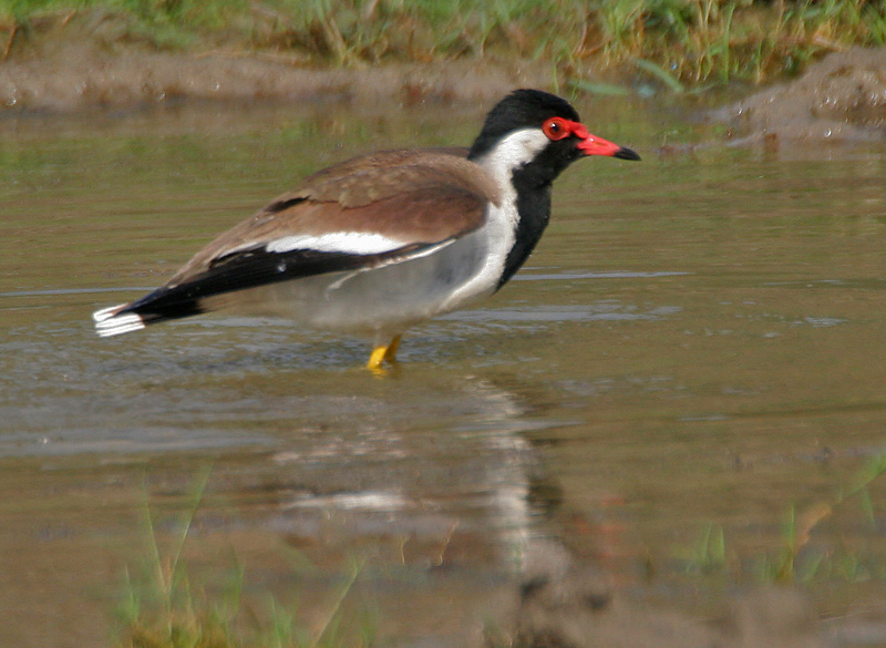 Red-wattled Lapwing (Vanellus indicus) after bath at Bharatpur I IMG 5757