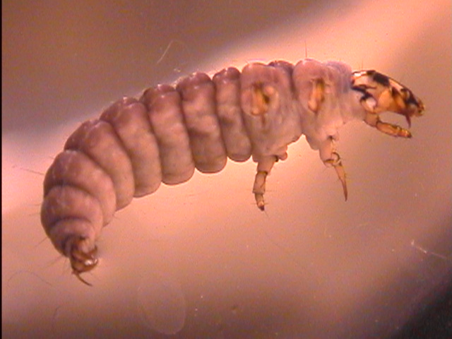 File:Rhyacophila.jpg