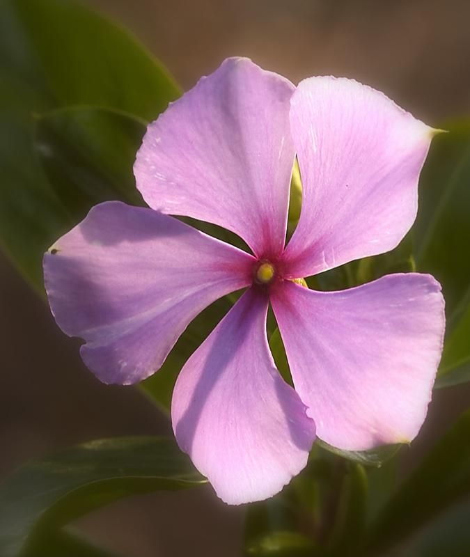 File:Rosy periwinkle.jpg - Wikimedia Commons