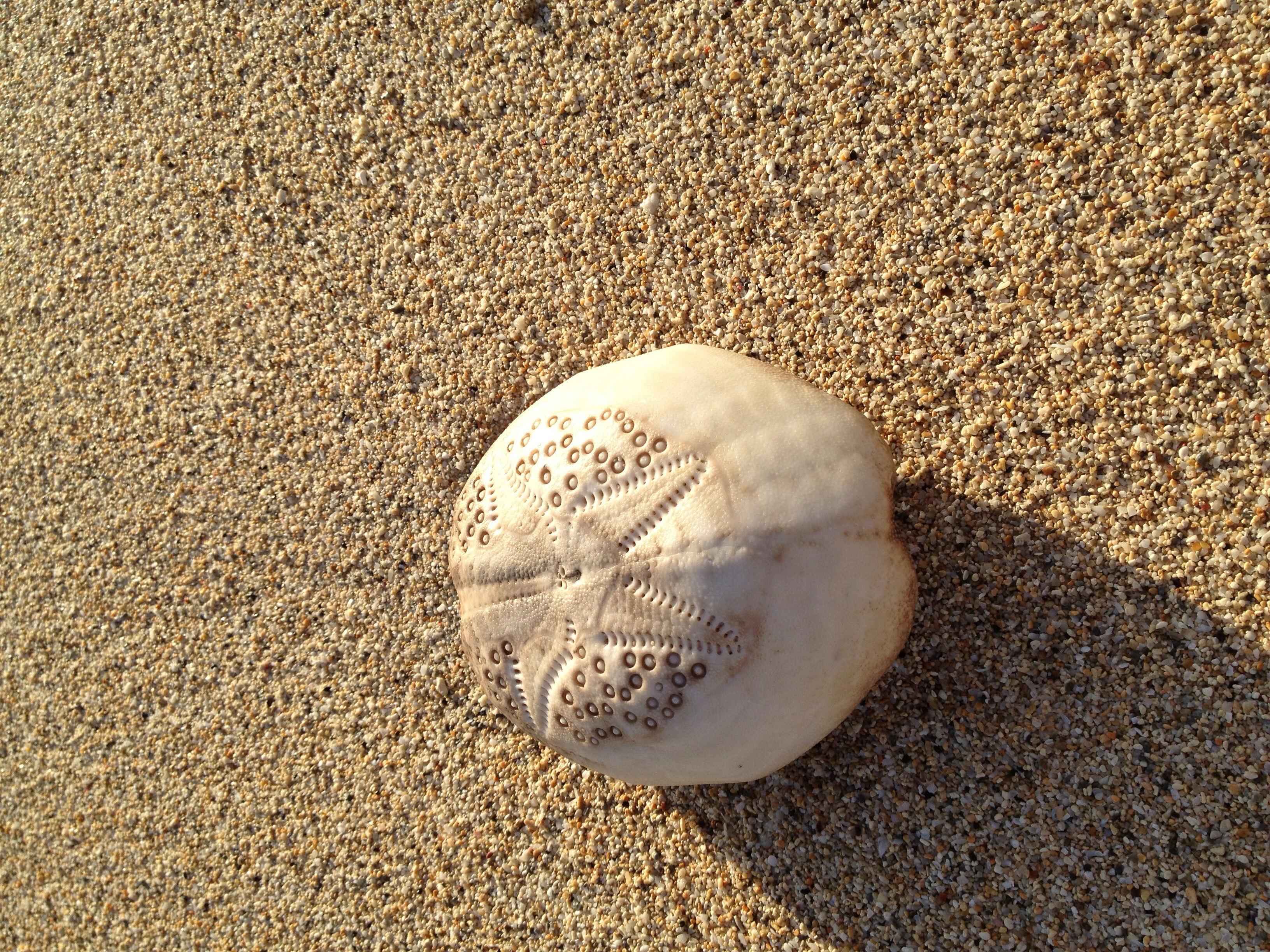 White sea urchin shell - photo#26