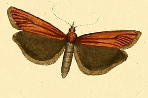 <i>Selagia spadicella</i> species of insect
