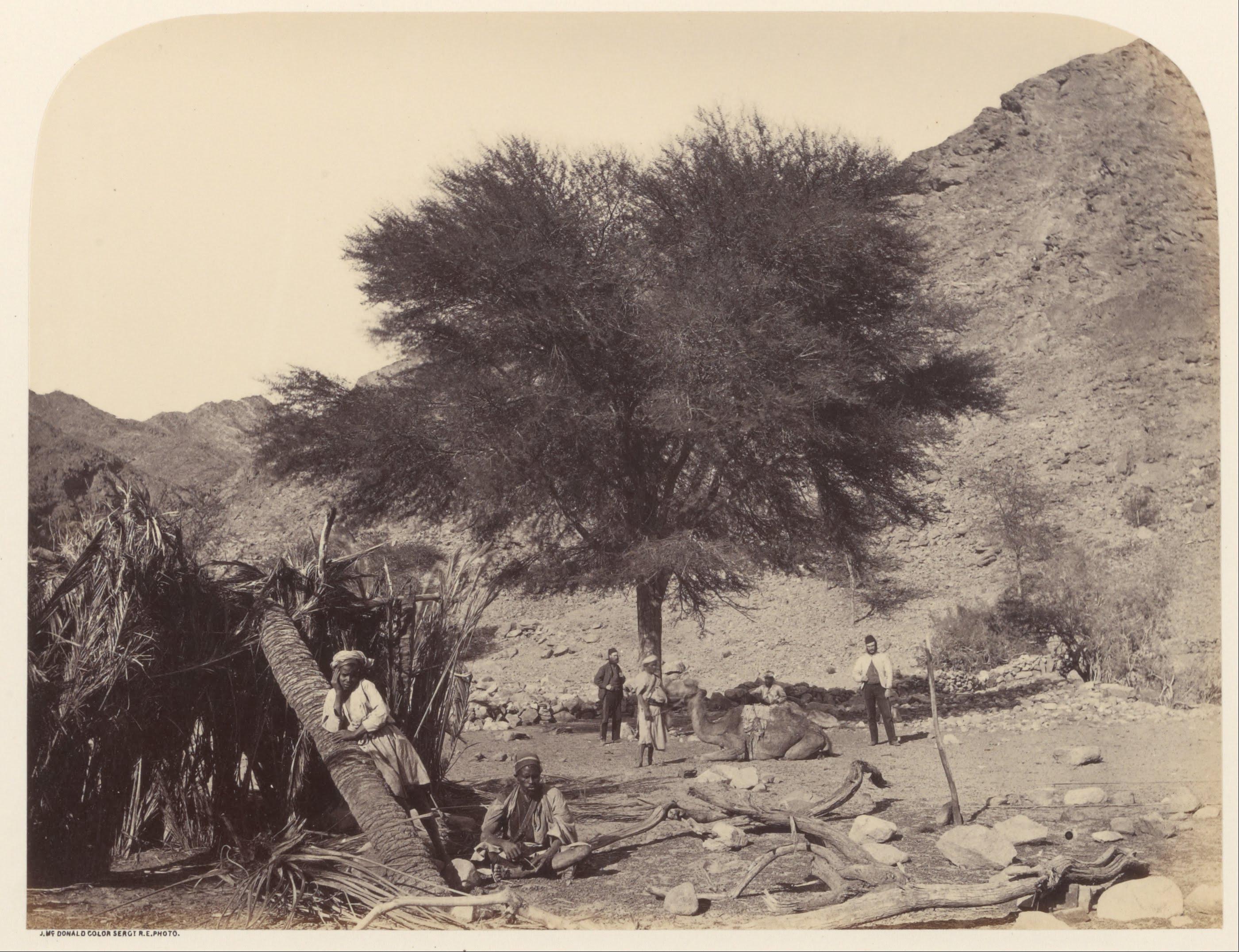 Seyal (Shittim) Tree