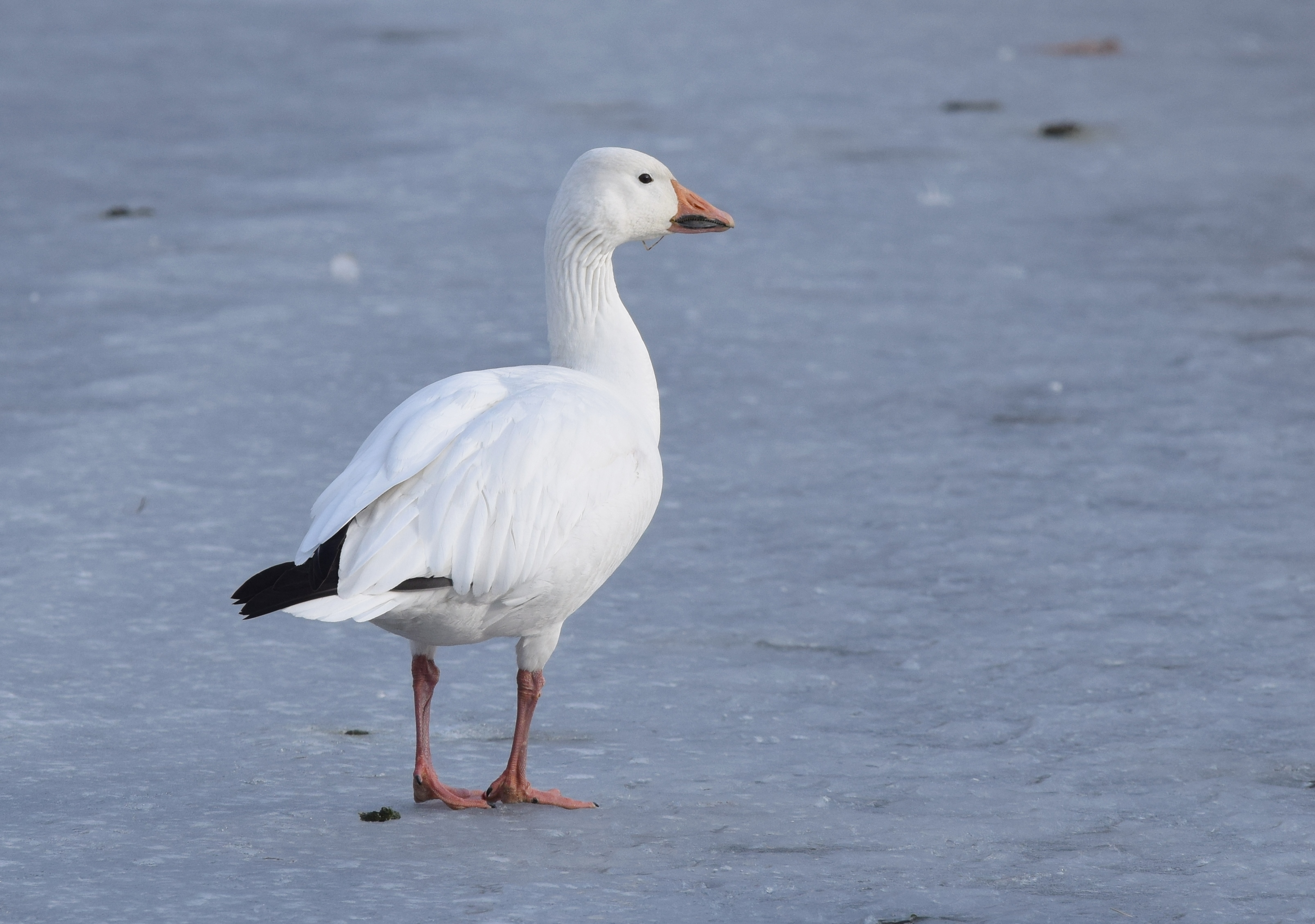 file snow goose 24510687761 jpg wikimedia commons