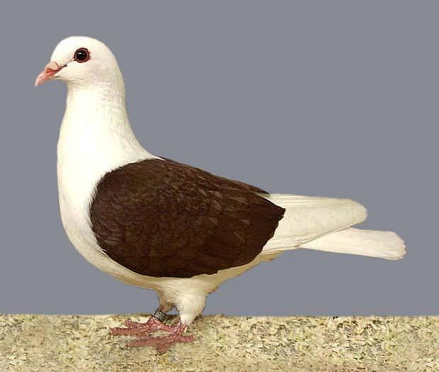 Thuringian Shield Pigeon - Wikidata