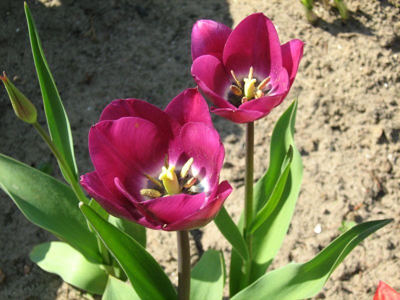 tulipa gesneriana  garden tulip
