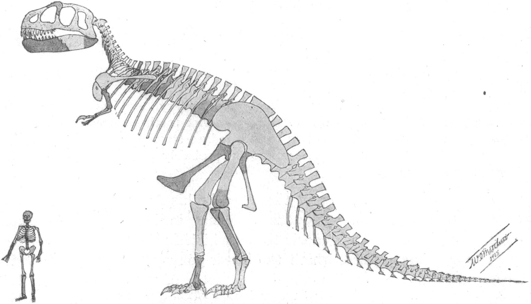 Skelettrekonstruktion von William D. Matthew aus dem Jahr 1905, die erste Rekonstruktion von Tyrannosaurus, die veröffentlicht wurde[76]