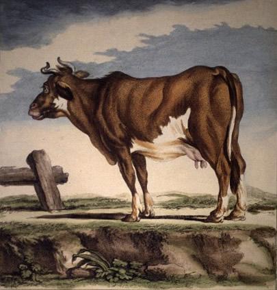 le male de la vache