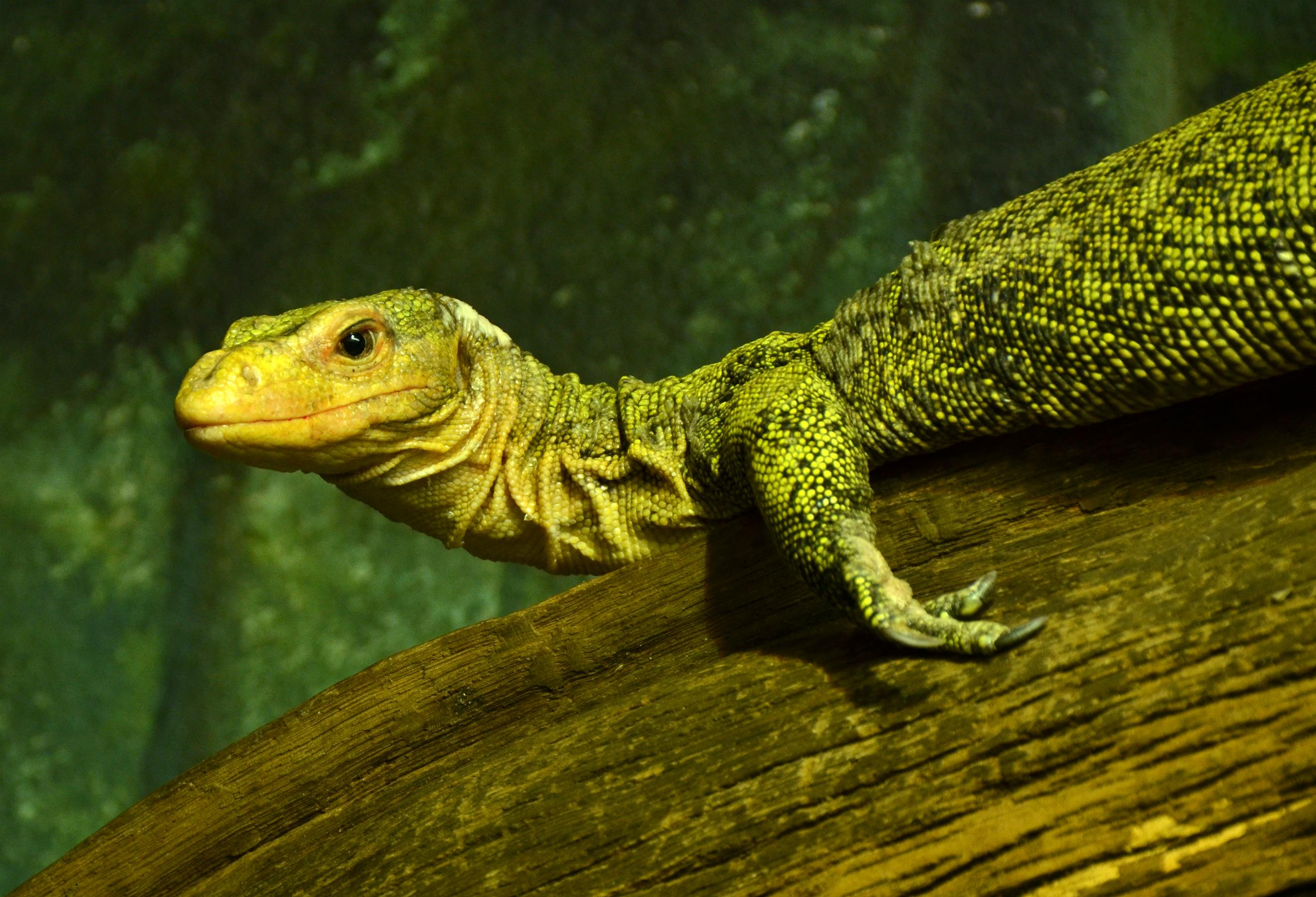 Varanus melinus Zoo Amneville 28092014 1.jpg