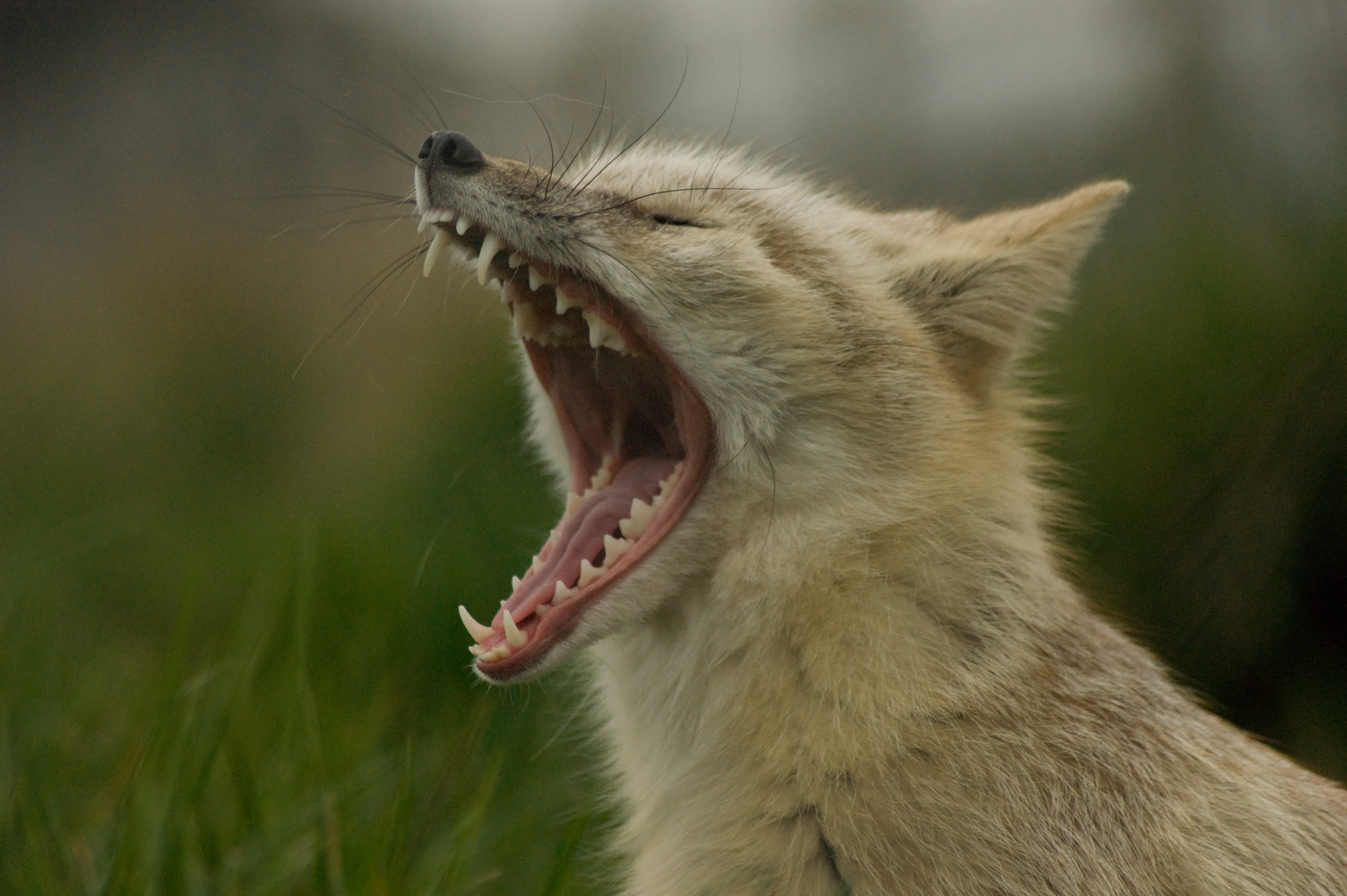 File Yawning Corsac Fox Jpg Wikimedia Commons