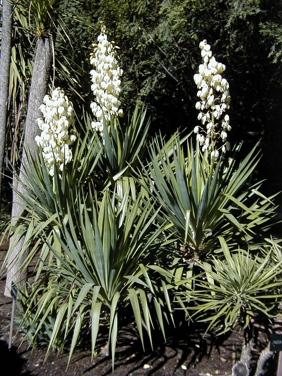 Yucca gloriosa evergreen and spanish on pinterest for Yucca plante