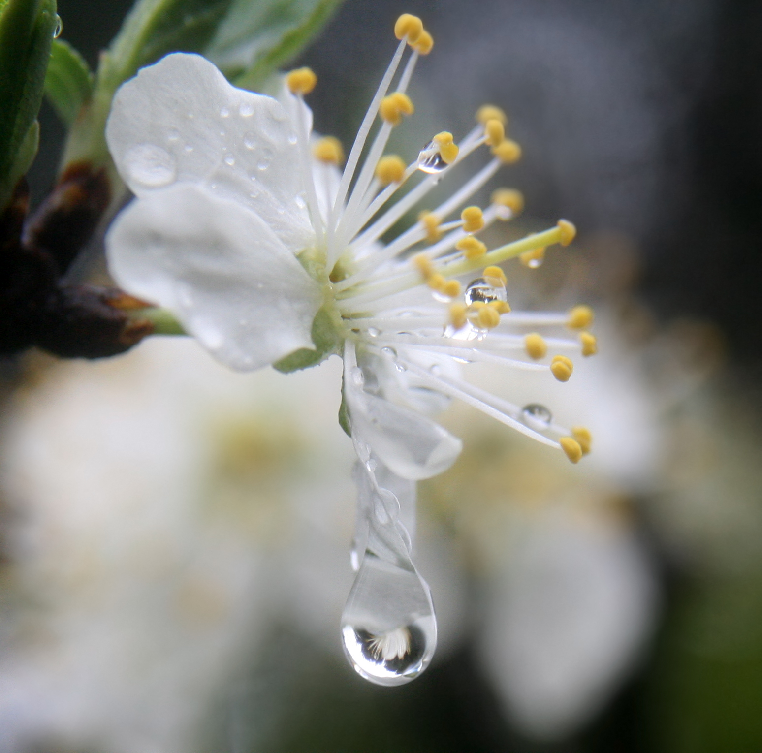 File A flower refracted in rain droplets