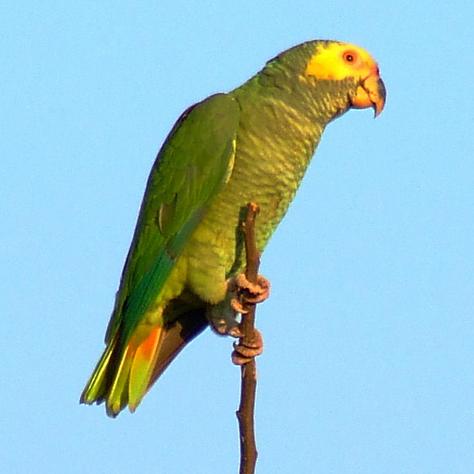 Ficheiro:Alipiopsitta xanthops -in tree-3-4sq.jpg