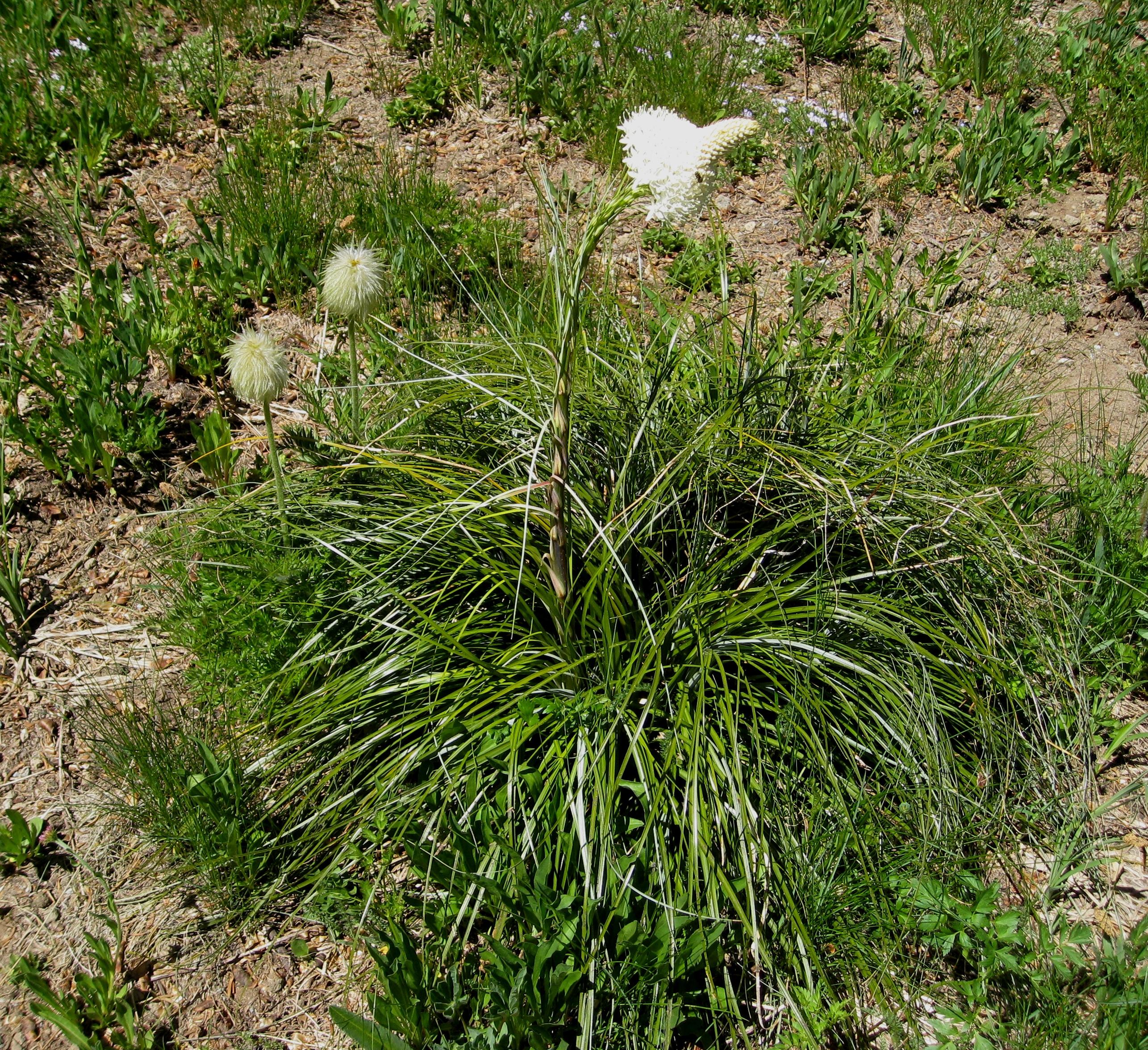 fileanemone occidentalis xerophyllum tenax beargrass