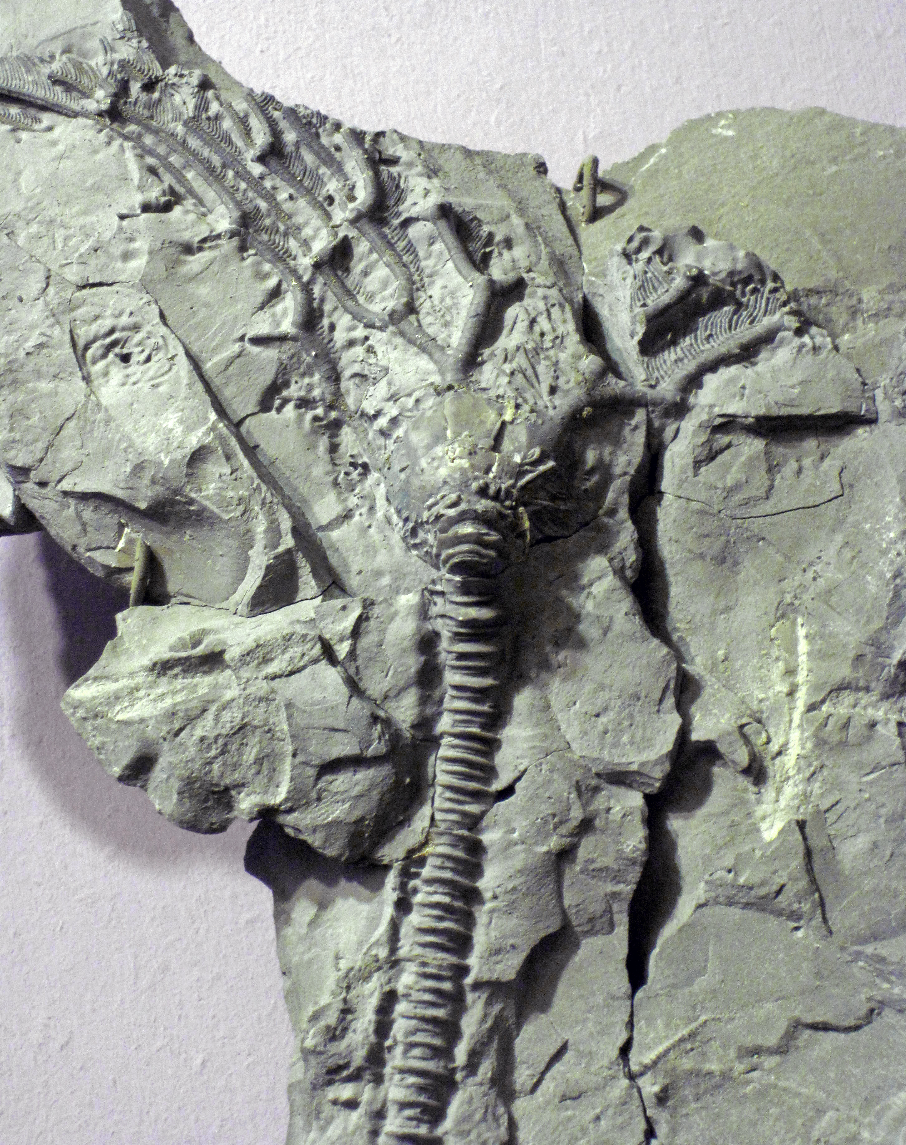 stick, or stem, is composed of numerous stacked columnals, like small poker chips. Stems and individual columnals are the most commonly encountered crinoid