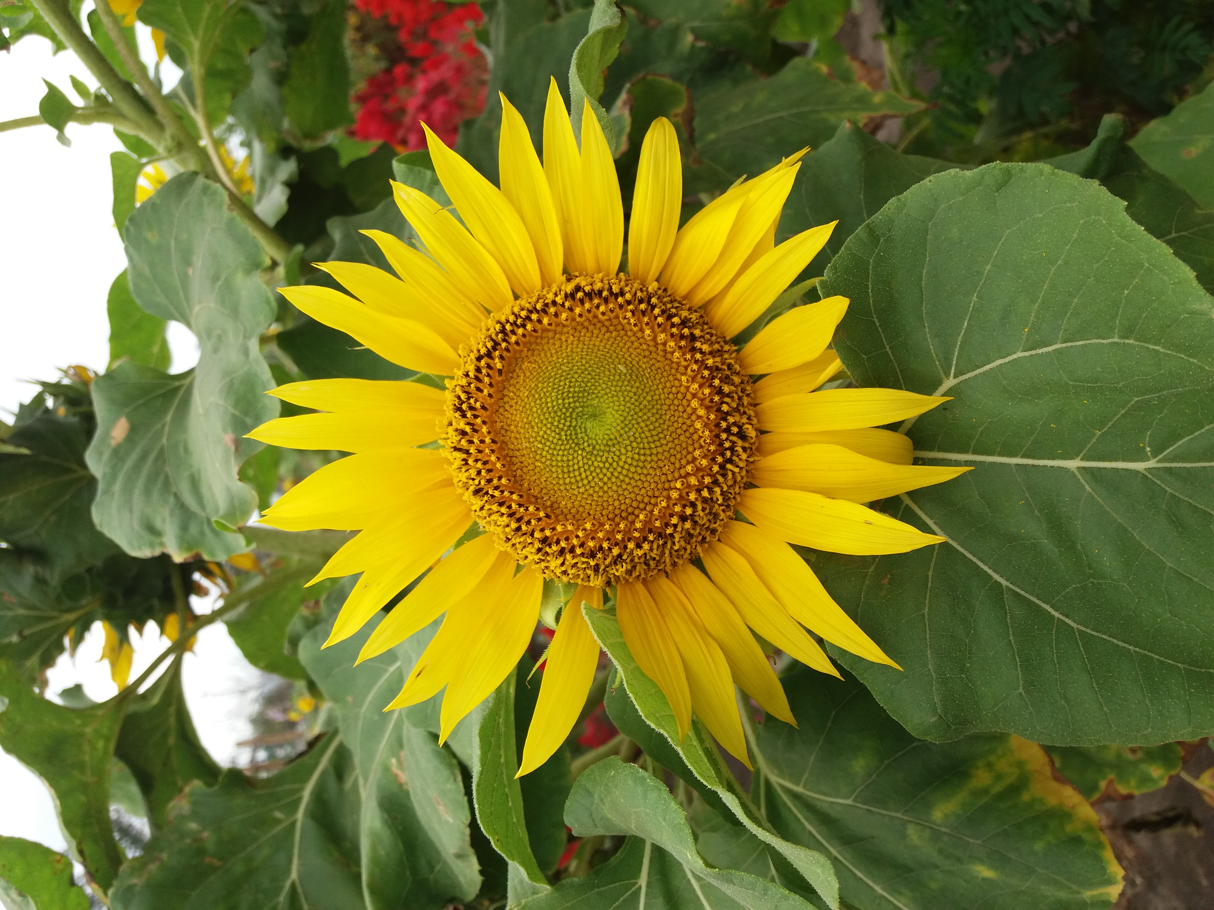 File Bunga Matahari Samas Jpg Wikimedia Commons