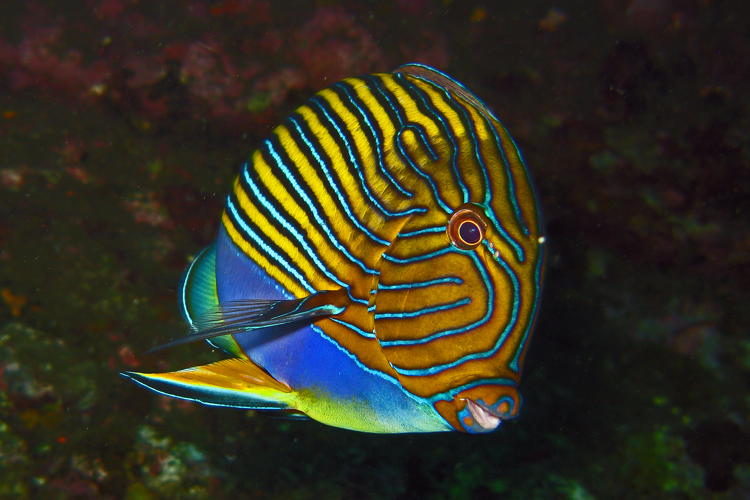 https://upload.wikimedia.org/wikipedia/commons/a/a0/Blue_lined_Surgeonfish_-_Acanthurus_lineatus.jpg