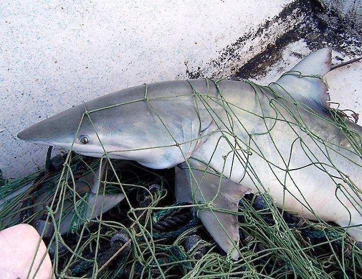 Carcharhinus isodon in net.JPG