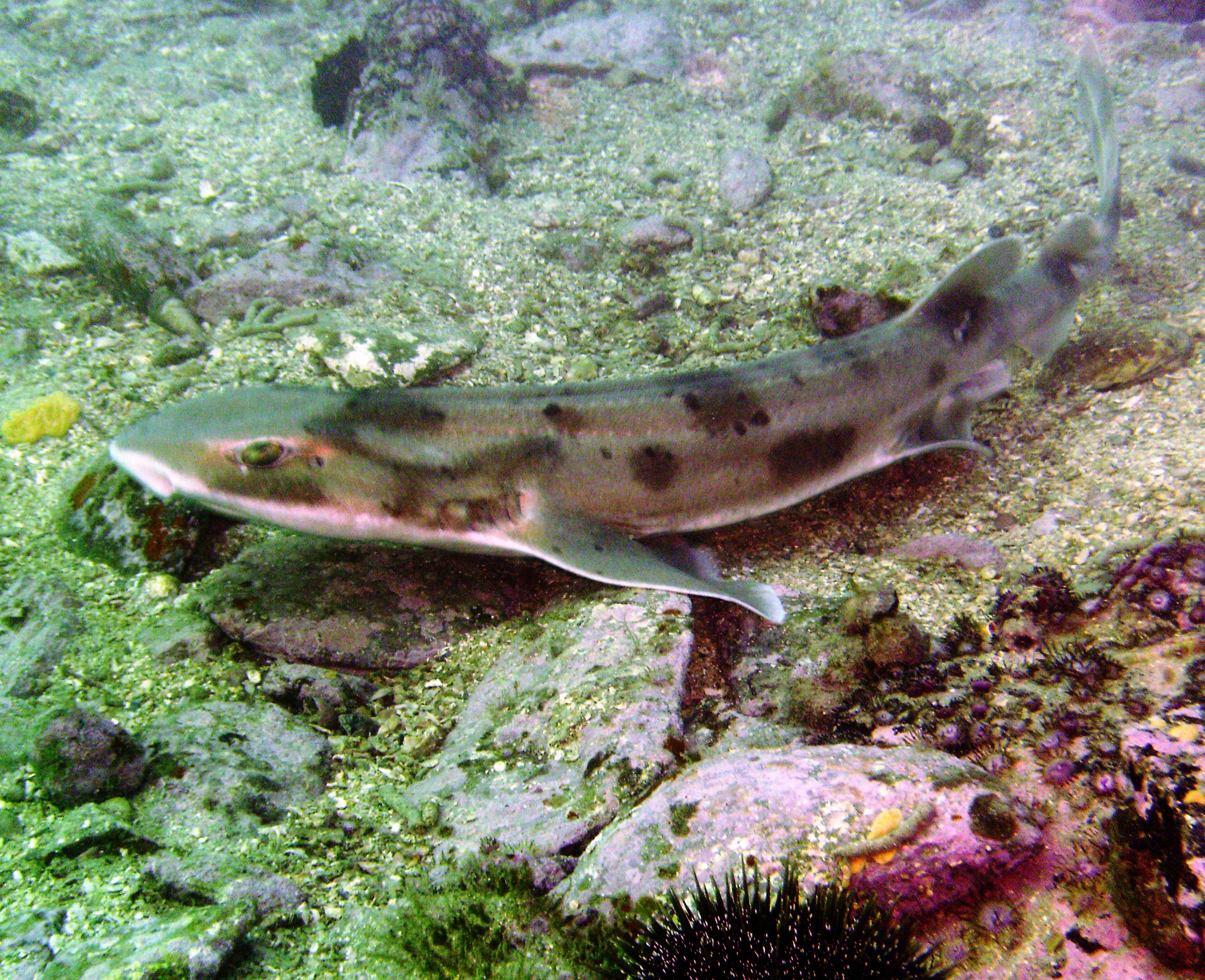 Draughsboard shark