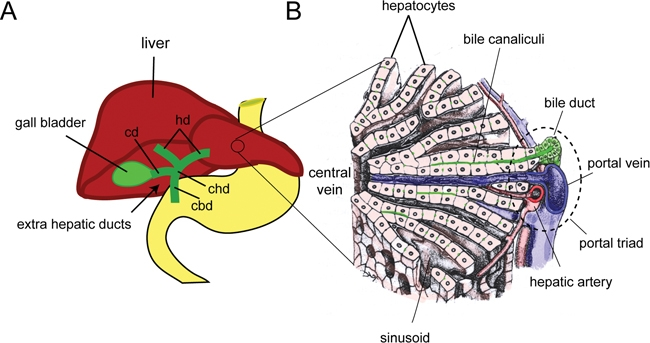 File:Cellular architecture of the liver..jpg - Wikimedia ...