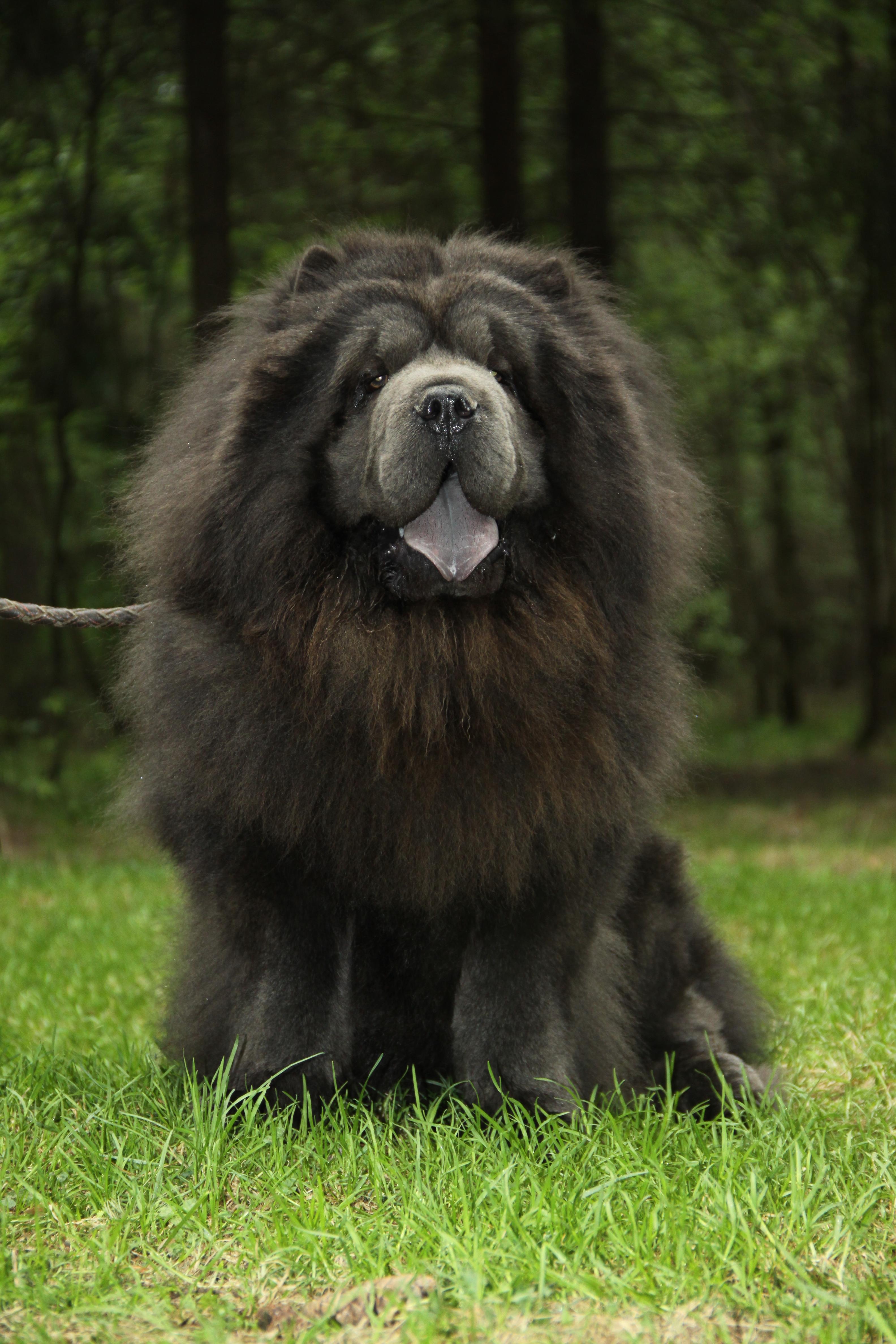 Dog Ear with Black Chow Dog