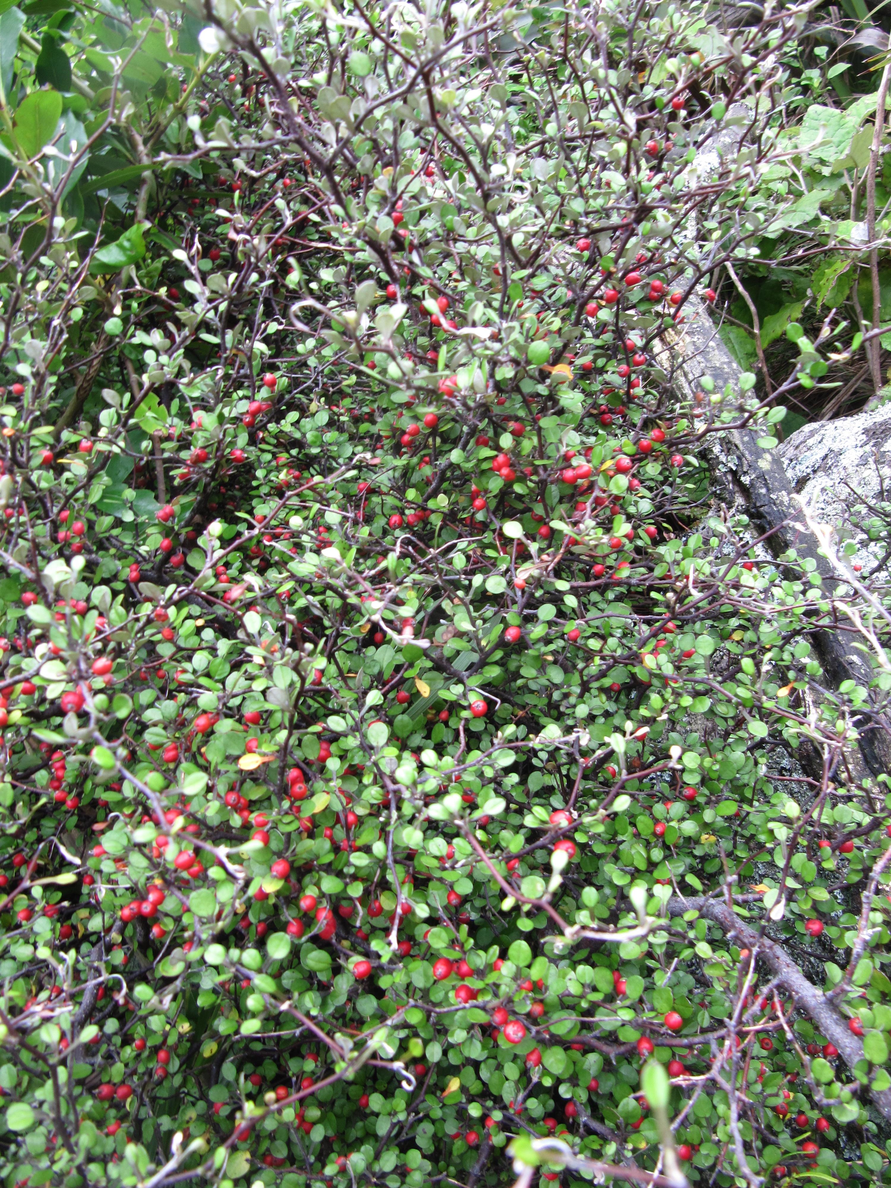 Corokia cotoneaster growing beside the track into Te Toto Gorge, Raglan, New Zealand.jpg
