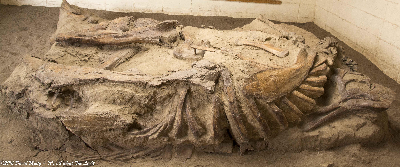 corythosaurus fossil.jpg