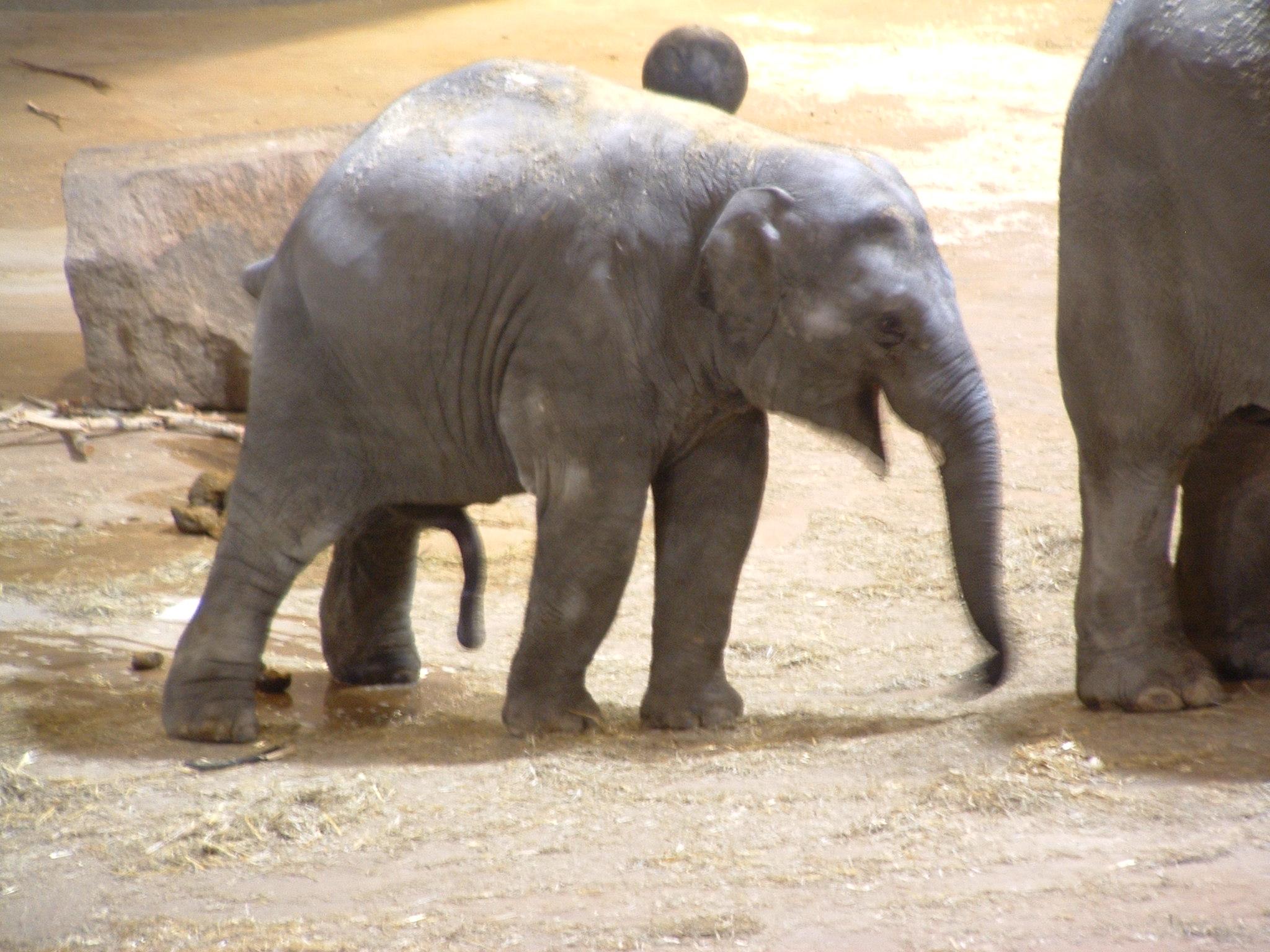 elefant penis størrelse
