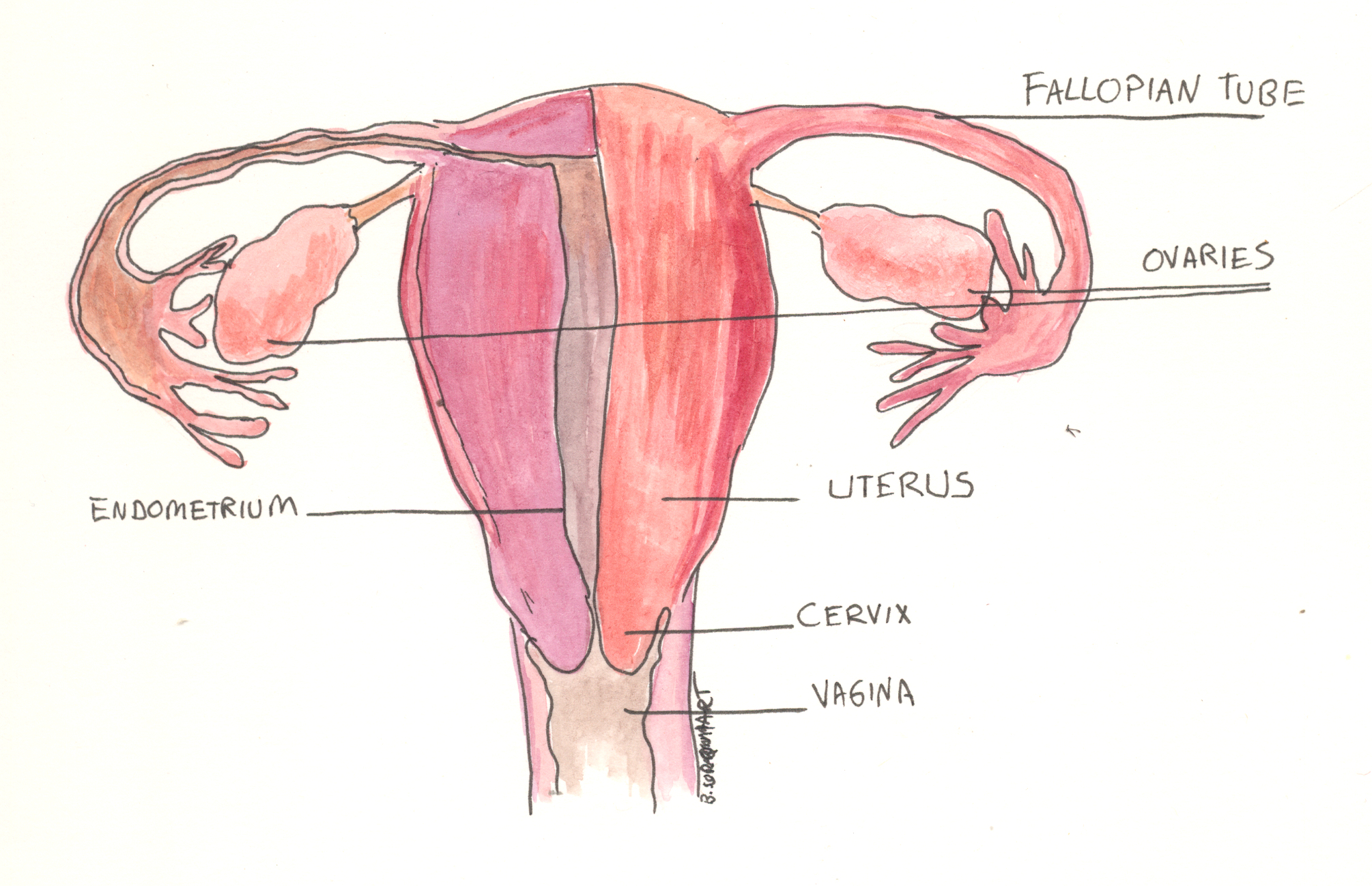 File:Female reproductive anatomy.jpg - Wikimedia Commons