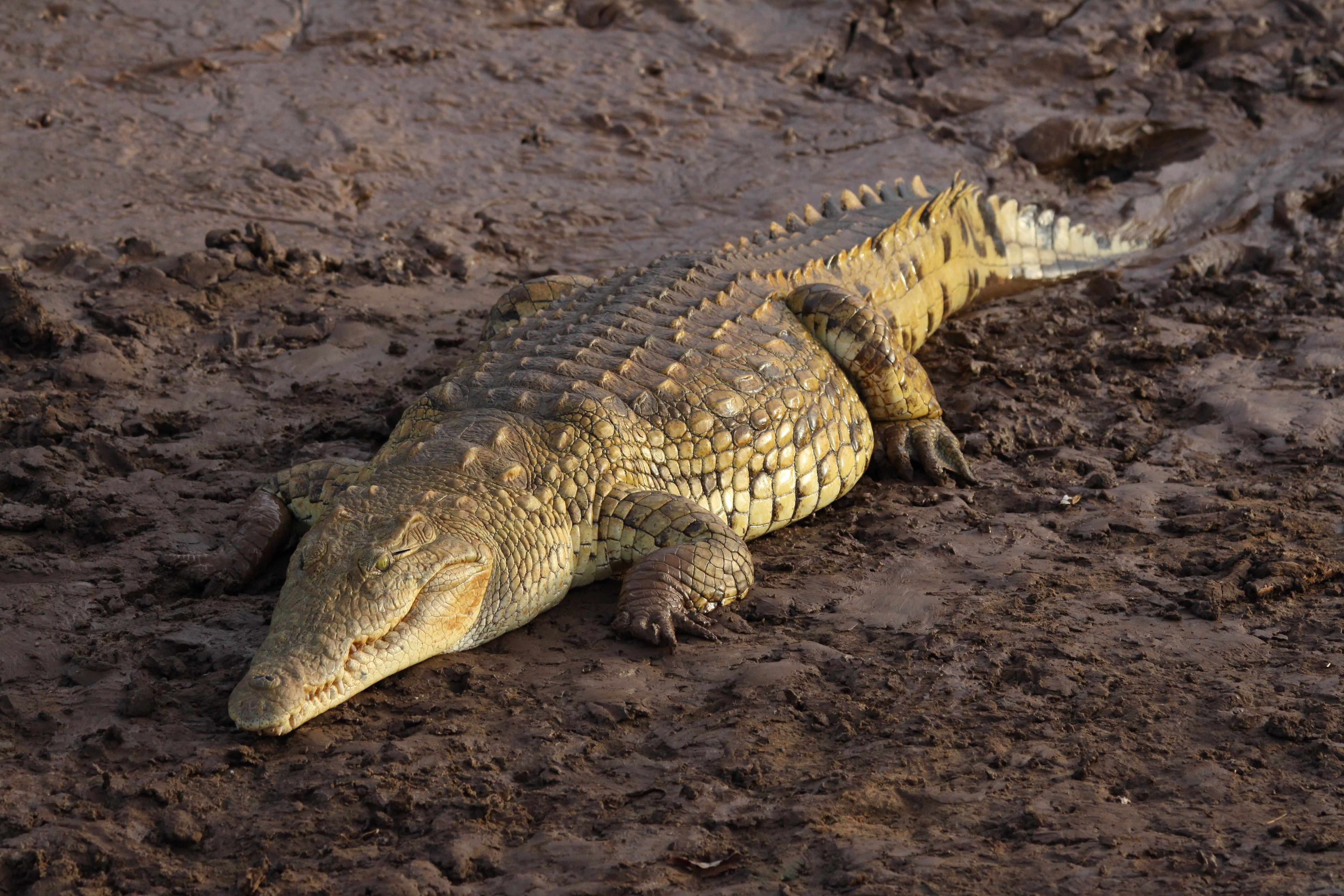 Krokodili Flickr_-_don_macauley_-_A_fat_crocodile_2