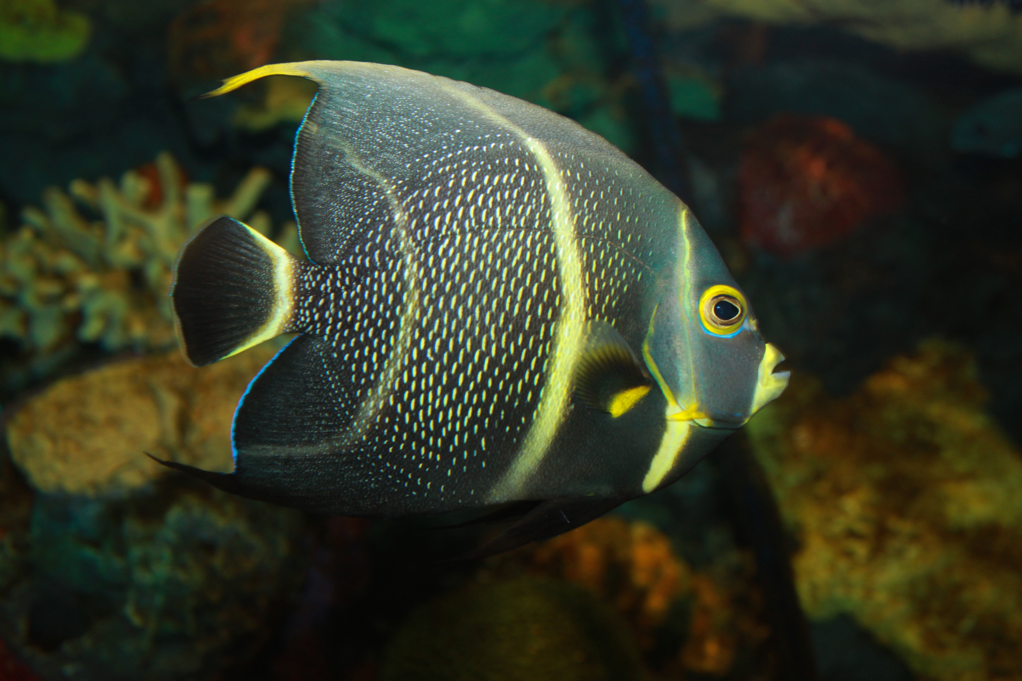 Description French Angelfish, Pomacanthus paru.jpg