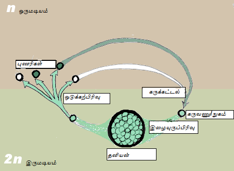 File:Gametic meiosis-Tamil.png
