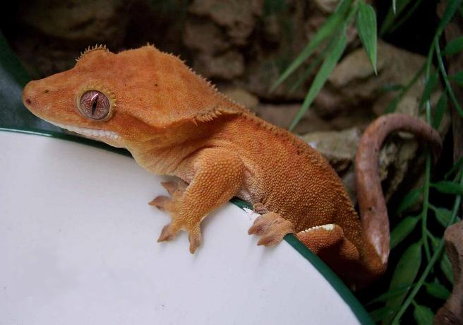 Orange Nosy Be Gecko