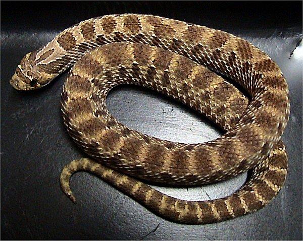 Weastern Hognose snake