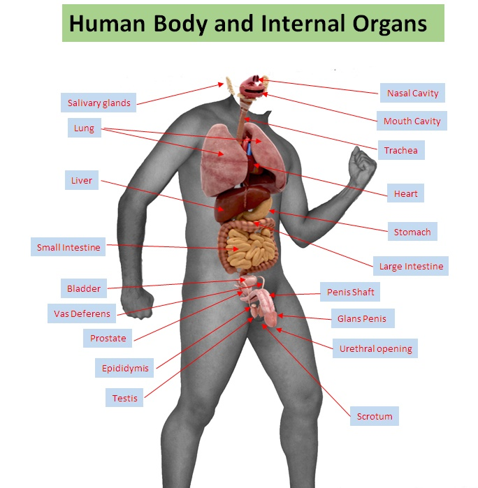 Labeled Diagram Of Organs In The Human Body Enthusiast Wiring
