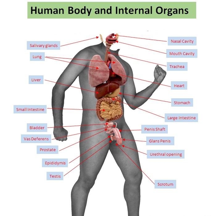 Human Body Organs Female Crazywidowfo