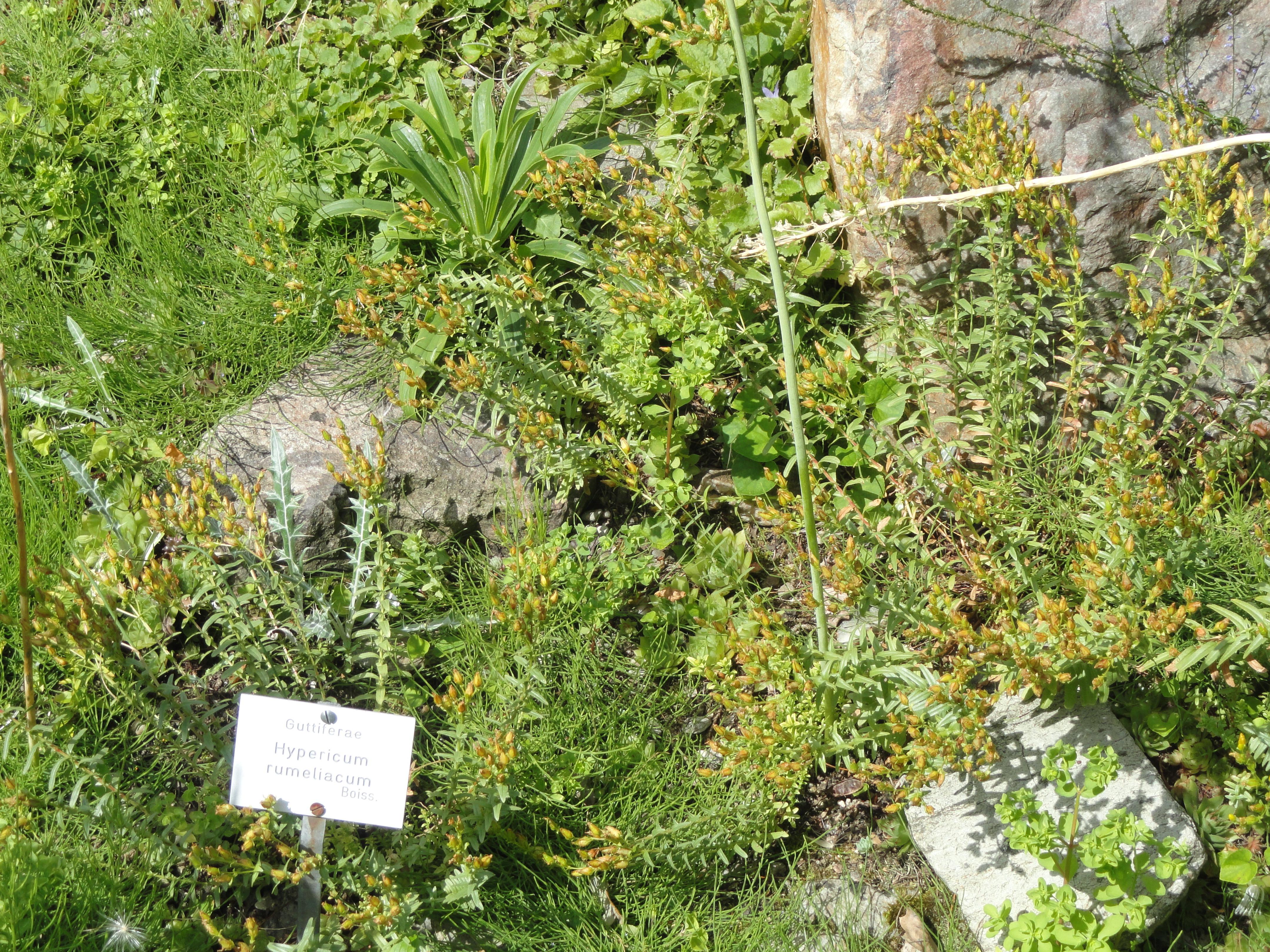 file hypericum rumeliacum botanischer garten frankfurt am main dsc02634 jpg wikipedia. Black Bedroom Furniture Sets. Home Design Ideas