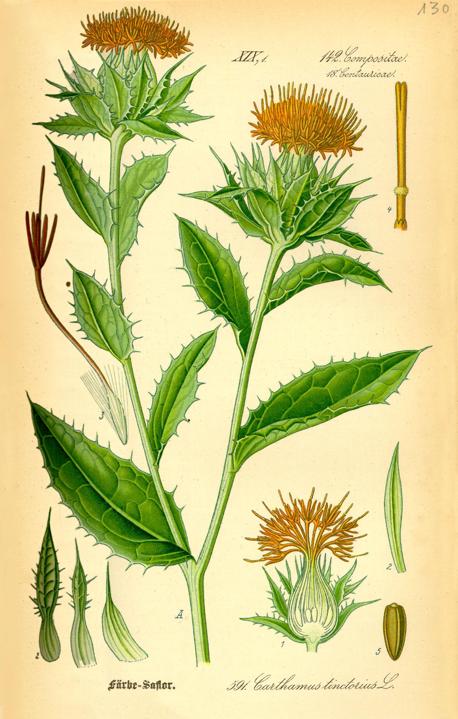 Carthamus Tinctorius Wikispecies