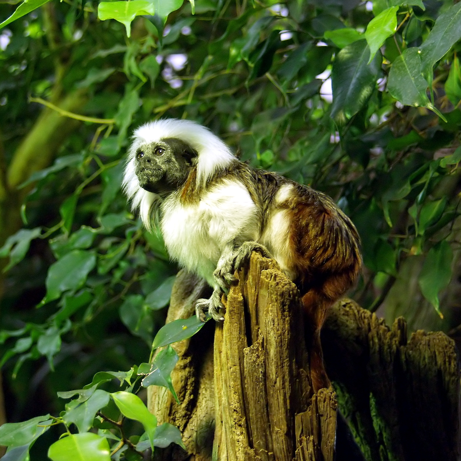 https://upload.wikimedia.org/wikipedia/commons/a/a0/Lisztaffe_-_Cottontop_Tamarin_-_Saguinus_oedipus.jpg