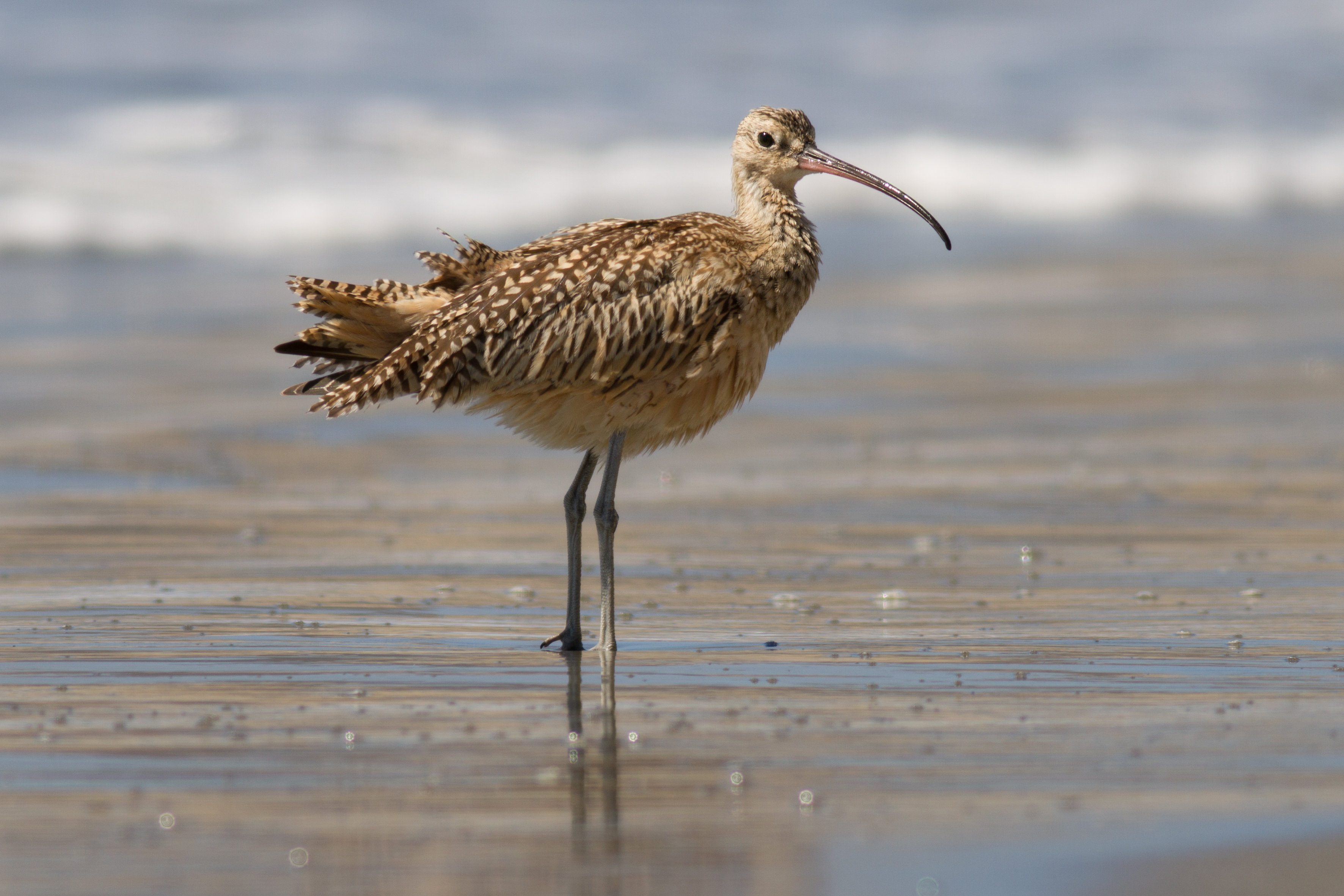 File:Long-billed curlew at Drakes Beach, Point Reyes.jpg ...