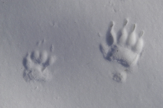 File:Meles.meles.tracks.on.snow.jpg