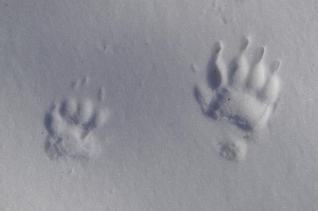 File:Meles.meles.tracks.on.snow.jpg