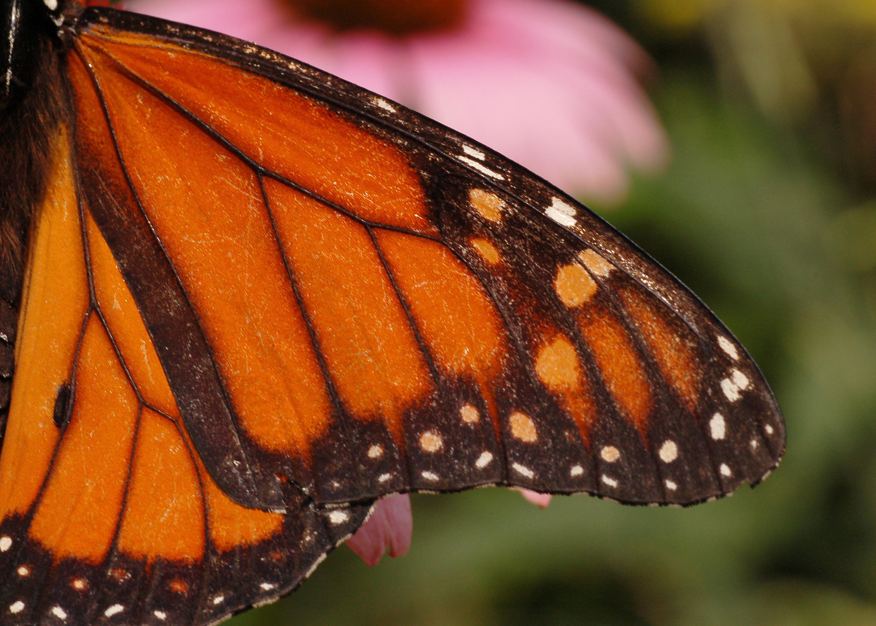 Monarch butterfly wings - photo#3