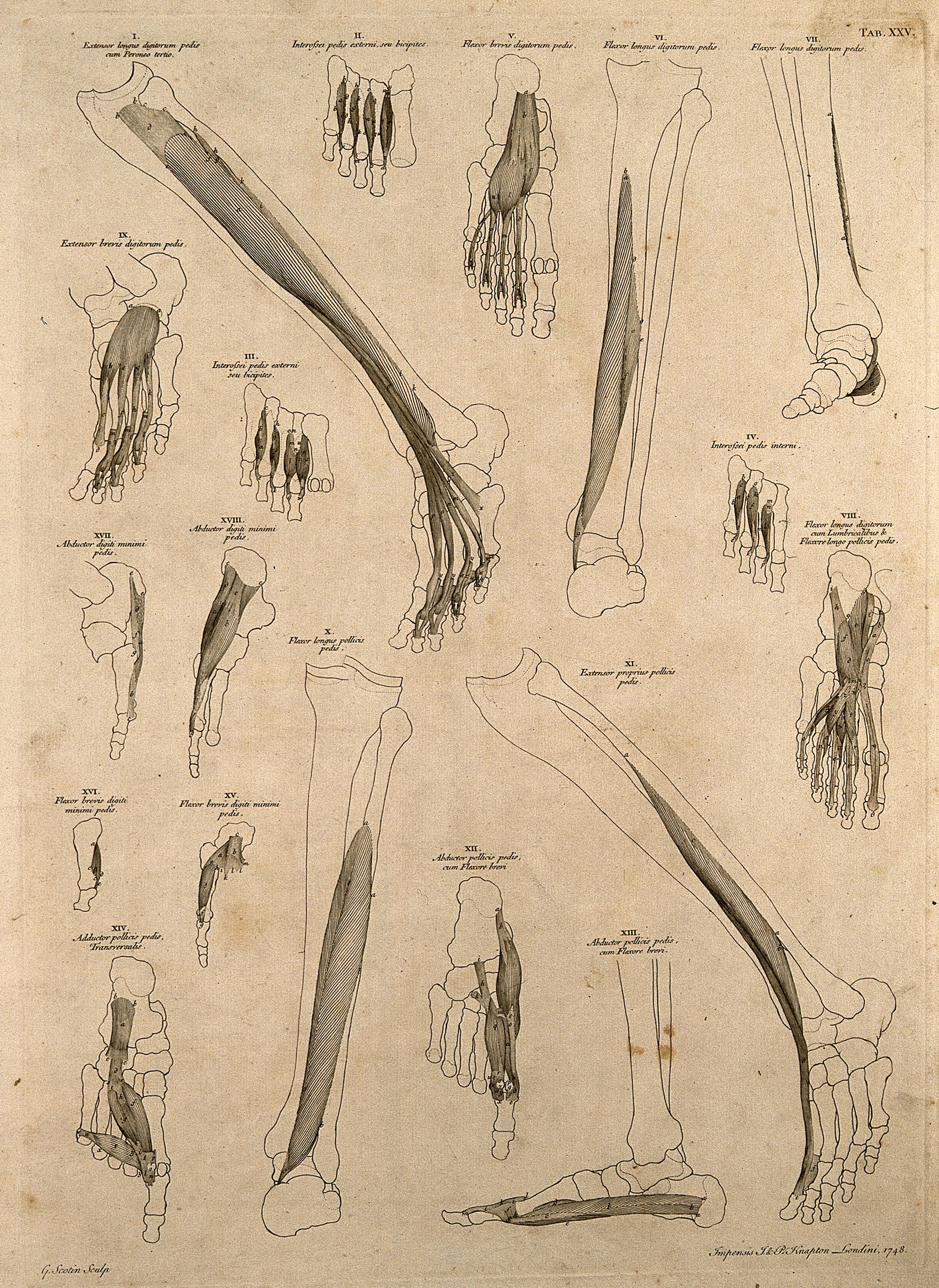 Filemuscles And Bones Of The Leg And Foot Engraving By G Wellcome