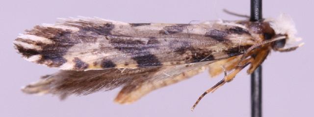 Nemapogon nigralbella.jpg © Marko Mutanen, University of Oulu (Wikimedia Commons - PD-author)