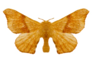 Eupterotidae family of insects